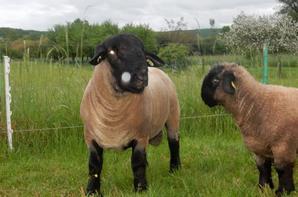 bélier a vendre/ vendu en espagne le 02/07 a l elevage: Mable Urbies Suffolk