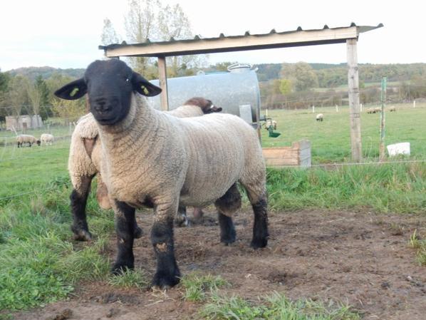 nouvel agneau dans l elevage