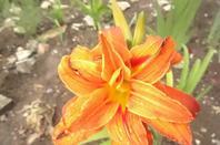 mes fleurs hémérocalle