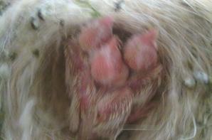 Fotos de crias Satine Amarelo Mosaico e de Uma topazio a alimentar os filhotes