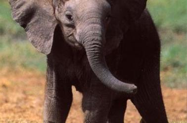 Dans la collection : Le tour du monde : l'Afrique 2 eme partie : tableau 3d éléphanteau