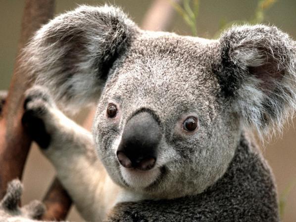 le desert et les koalas