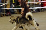 Liaq Nanuq du Val des Hurlus - 14 avril en Expo à Maubeuge
