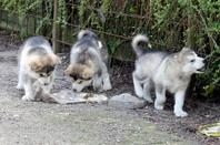 LES CHIOTS ONT 7 SEMAINES
