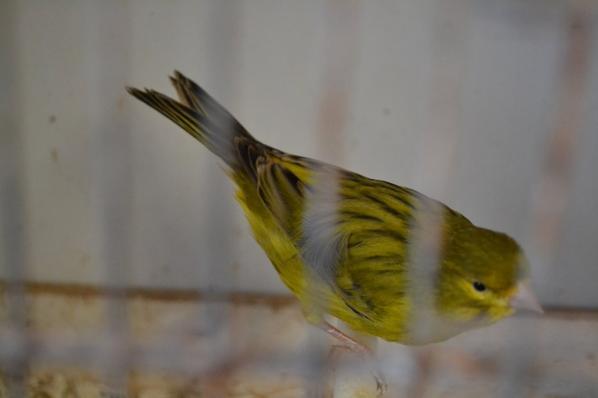 Agaat geel intensief