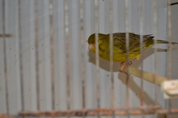 Agaat geel schimmel