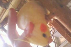 Je vous présente fiancaille :) <3 Un calopsitte jaune élevé à la main
