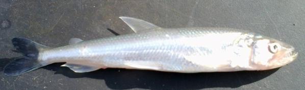 Identification de ce poisson pêcher a Dunkerque.