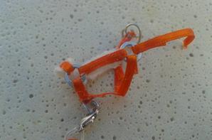 Licol Français Orange et Moumoute Beige