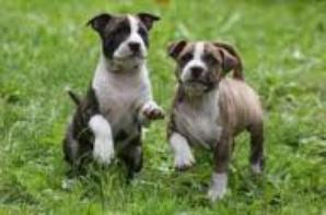 les Pitbull des chiens comme les autres
