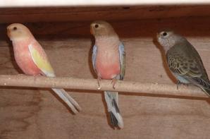 BOURKES SEVREES 2013, deux jeunes  fallow, une rubino, et un mâle sauvage,