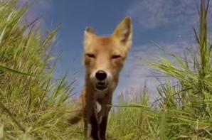 Un renard tente de dévorer une caméra miniature