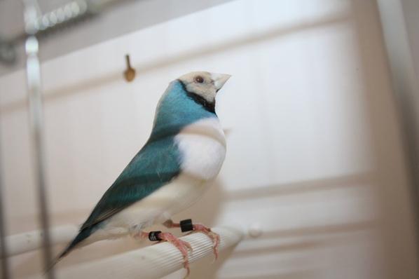 Male Bleu