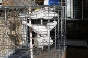 Blanc recessifs et Albinos