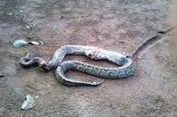 Serpent BOA!