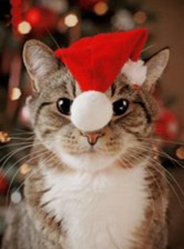 les chats de Noel