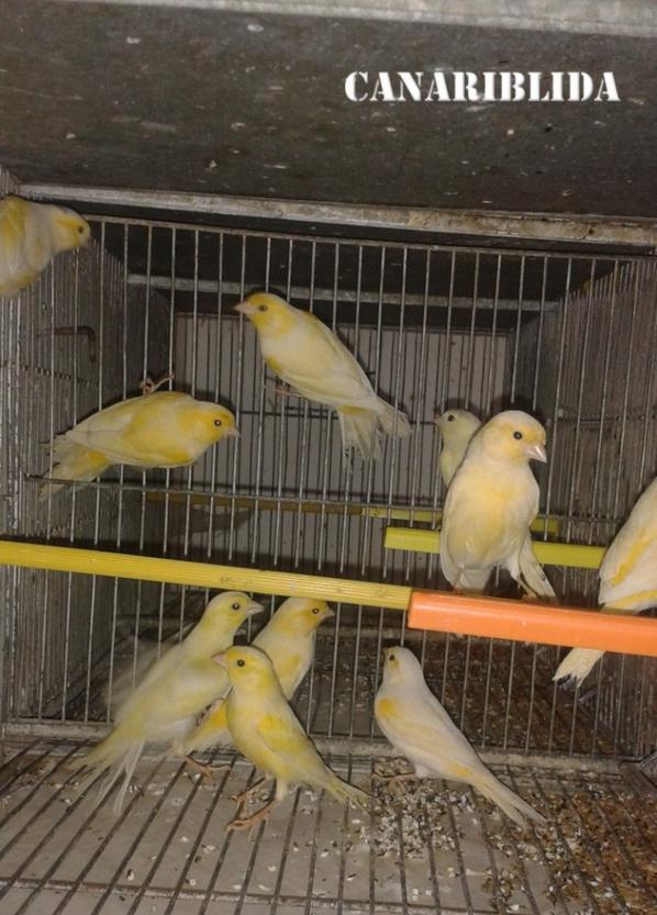 reprise d'élevages des canaris