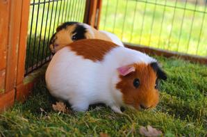• Guinea Pigs Time #2