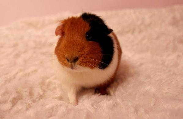 • Guinea Pigs Time #1