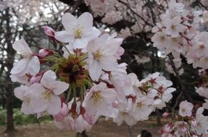 Sakura [31/03/2016]