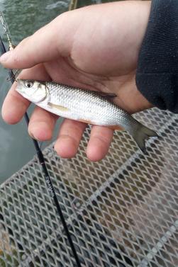 Week-end  pas fameux  pour Les jolie fish dommage