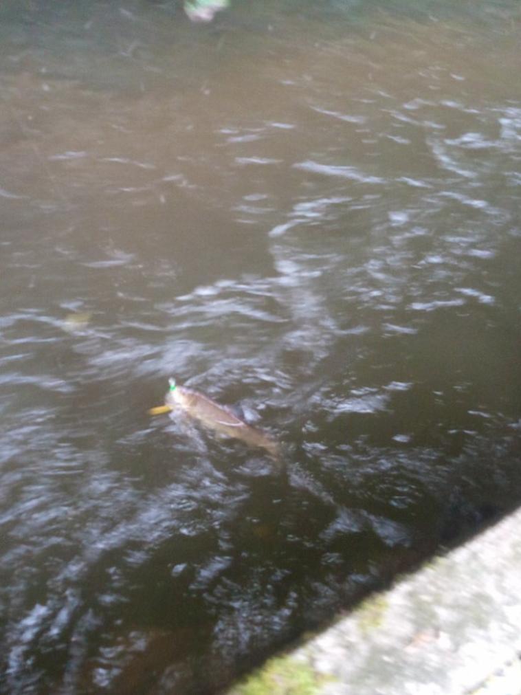 Truite entre 30 et 35 cm en rivière n-2