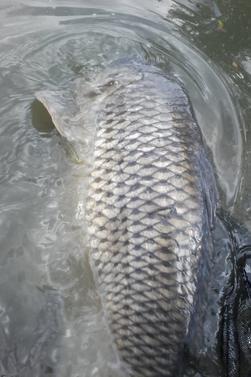 Pêche au maïs