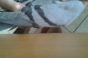 merci a gegevitro de m avoir cédé ces deux magnifiques pigeons et de m avoir donné cette belle brulé hyper simpa merci encore !!!