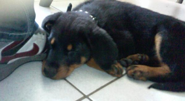 l'arrivé de mon petit chien de 2 mois: un beauceron