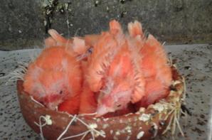 Phaeo mos rouge et lipo rouge