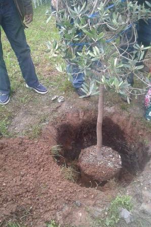 L'arbre de la Paix
