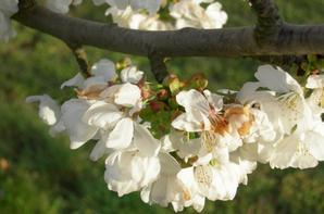 Cerisiers en fleurs! :-)