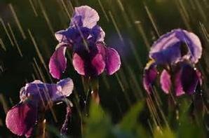 """iris sous la pluie ...   """"purple rain..""""! ;)"""