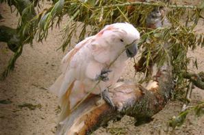 Pairi Daiza 2009 - Cacatoes et calopsites