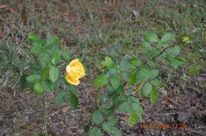 des roses au mois de décembre