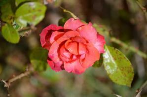Quelques roses pour vous mes amis (es)