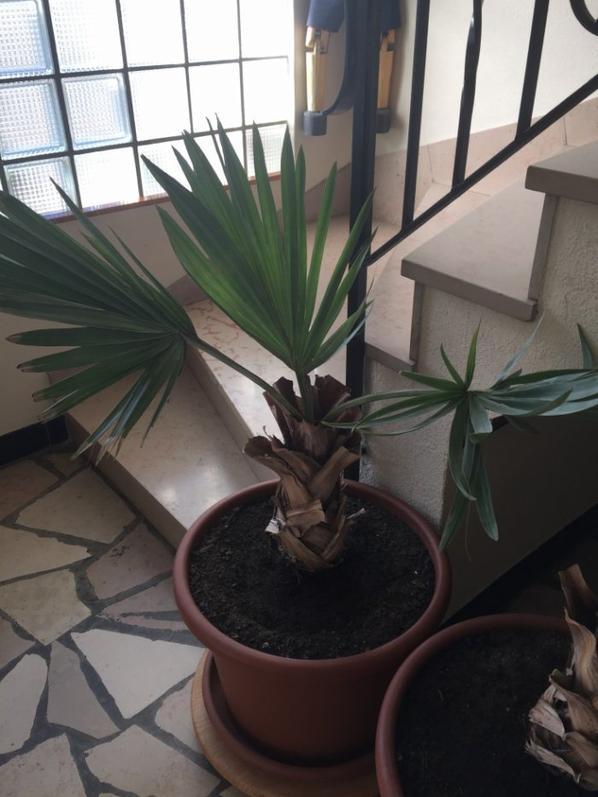 Bismarckia nobilis.