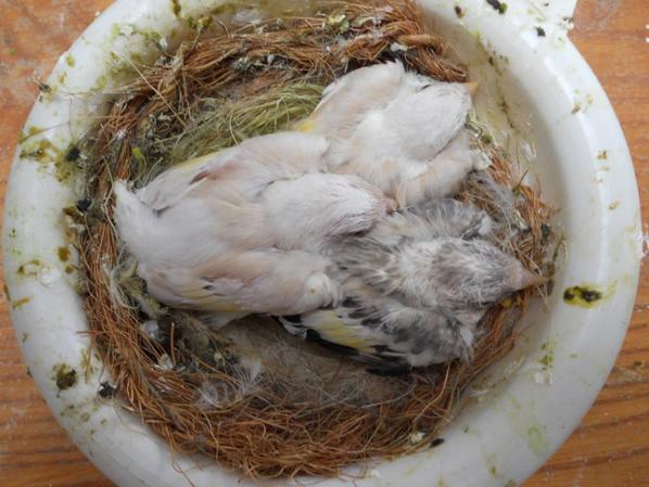 Les parents ( femelle blanche aux yeux noir et gros mâle classique porteur eumo et brun pastel ) résultat deux femelles brune pastel gorge blanche et un classique collier blanc.