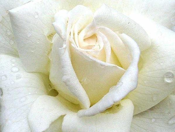 DE ROSE NOIRE A ROSE BLANCHE....ELLE N'EST UNE ROSE