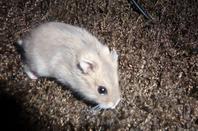 Qui veut être la marraine de mon hamster Pimousse ?