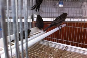 quelques jeunes oiseaux avant la mue