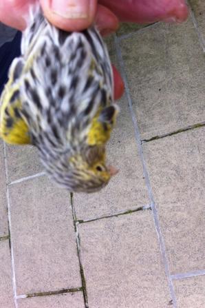 agate mozaique jaune en mue