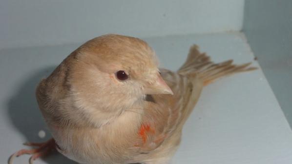 femelle brun topaze rouge mozaique Or à VVNK 2011