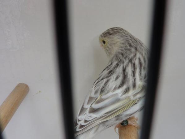 Quelques oiseaux à céder plusieurs médailles OR et Argent exposition internationale Emines