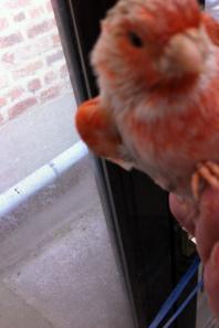 mâle agate topaze rouge mosaique en mue