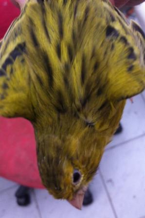 Agate jaune intensif