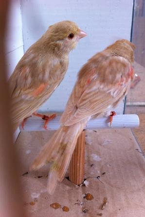 Bruns topaze rouge mosaique en mues