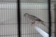 petit échantillon des oiseaux en préparation toujours en mue