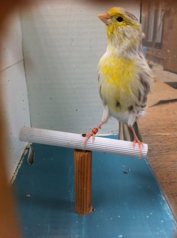 Mâle agate topaze jaune mosaique en mue