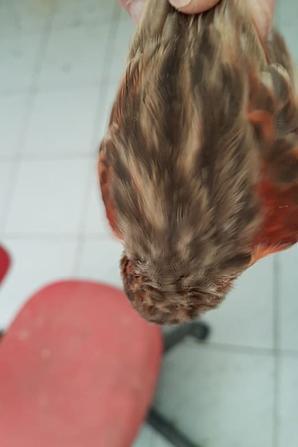 Les bruns rouge mosaique trainent en mue